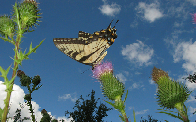 Eastern Tiger Swallowtail (Papilio Glaucus) on Milk Thistle (Silybum Marianum)