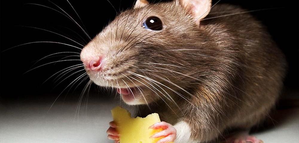 Экстремальные источники питания: Мыши и крысы