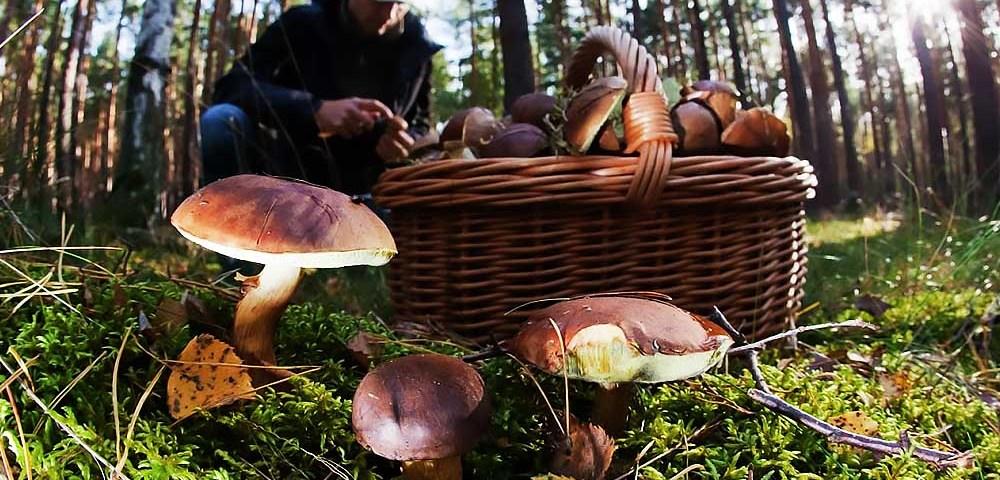 Сбор грибов и что об этом стоит знать