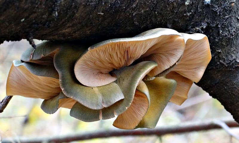 Выжить зимой: Съедобные зимние грибы в лесу