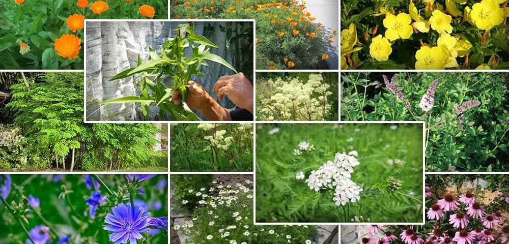 Лекарственные растения, которые нужно выращивать в своём саду