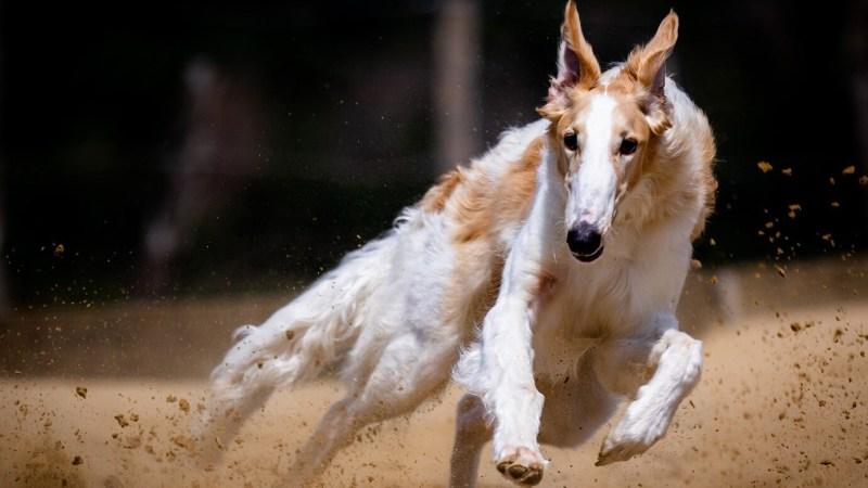Jachthond, Costa Blanca