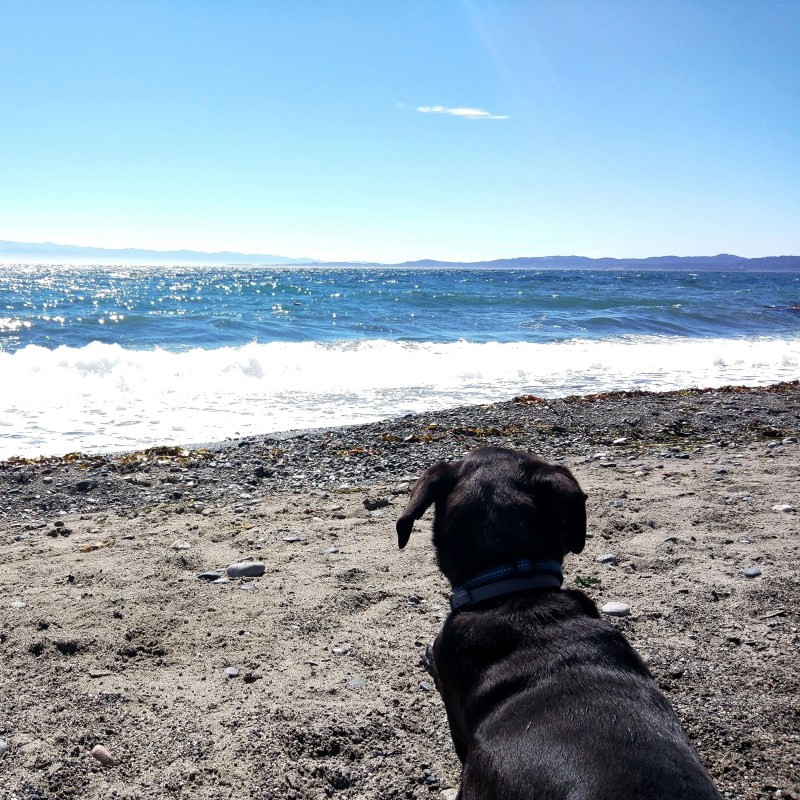 our dog Odin laying down in the sand at a beach in Victoria Canada