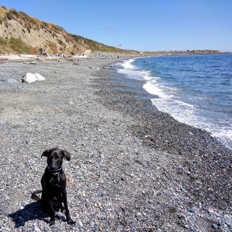 our dog Odin sitting down in the sand at a beach in Victoria Canada