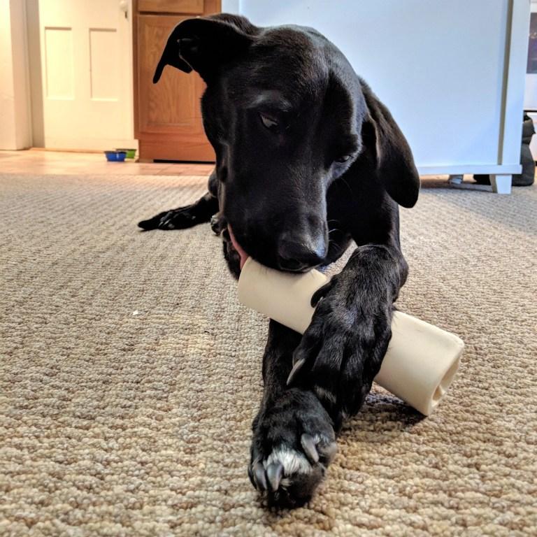 Odin chomps on a bone