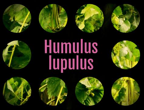 Humulus Lupulus illustration.