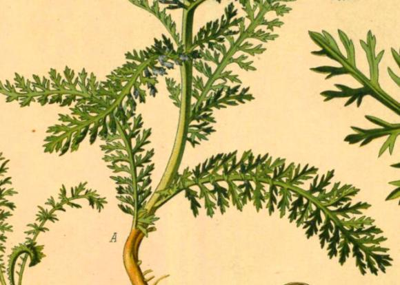 Old illustration of yarrow leaves.