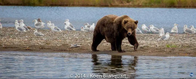 Grizzly bears – Brown bears, Alaska