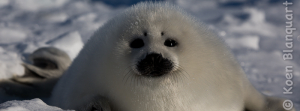 A harp seal pup on the ice in the Gulf of Saint Lawrence (Photo: Koen Blanquart, 2015)