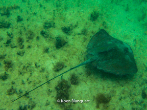 A stingray swims over the bottom of the shallow water at the beach in Akumal