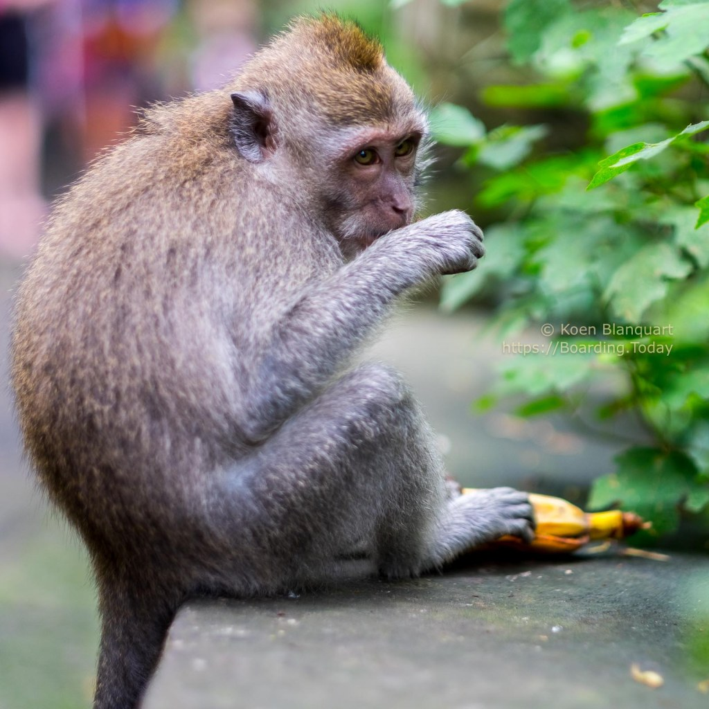 Monjeys in the sacred Monkey Forest Sanctuary in Ubud, Bali, Indonesia