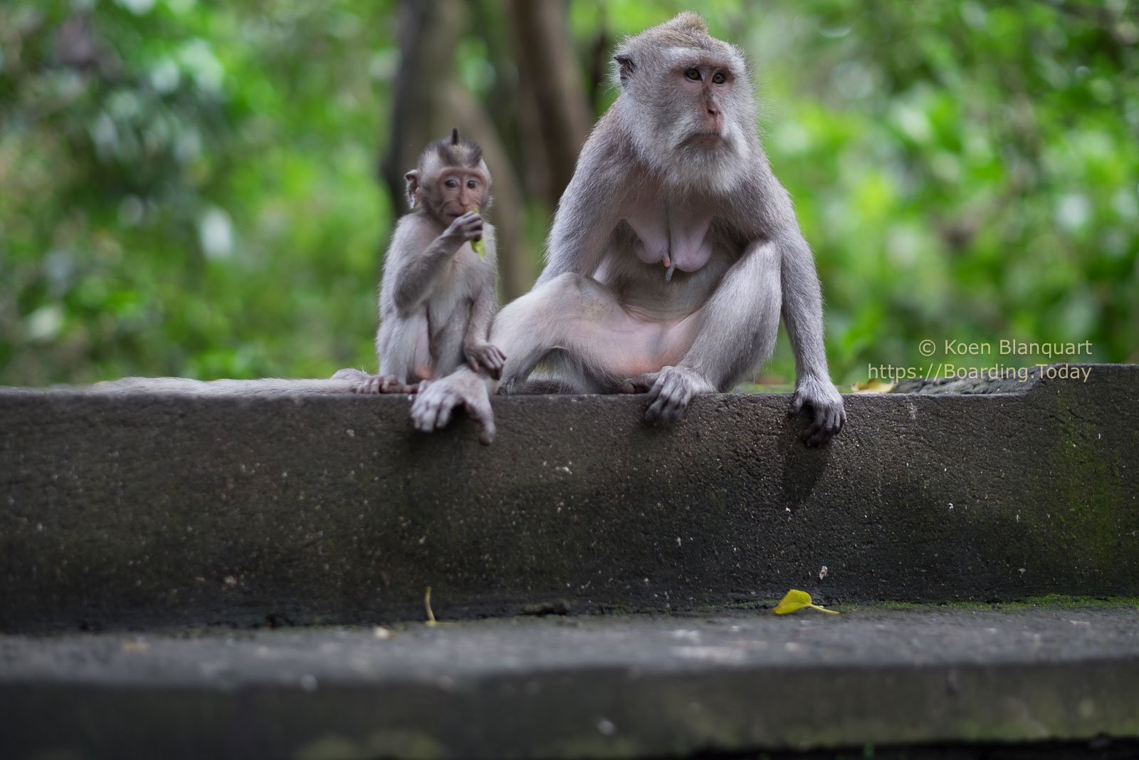 Monkeys in the sacred Monkey Forest Sanctuary in Ubud, Bali, Indonesia