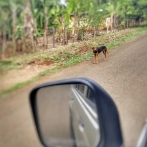A dog is standing on a road in Hicaco, Veraguas Provice, Panama - picture by Koen Blanquart for Boarding Today