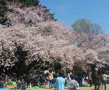 Shinjuku park sakura