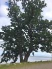 troense tree