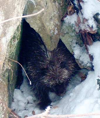 From Bob Arnebeck's web page on Porcupines