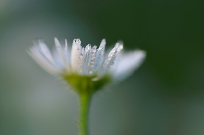 Dew on a Flower