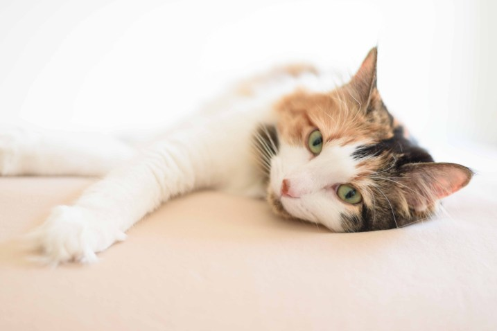 Calico-Cat-Photographer-Minnesota-2015