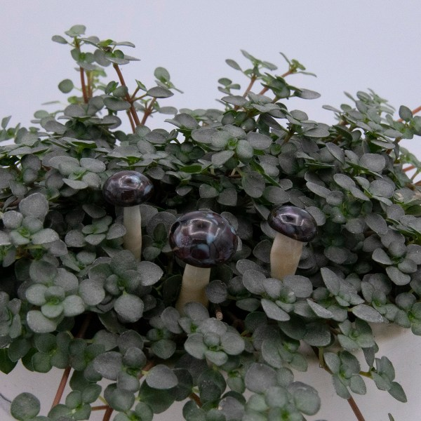 dark topped cream glass mushrooms, close up view, displayed ina a plant with small green leave