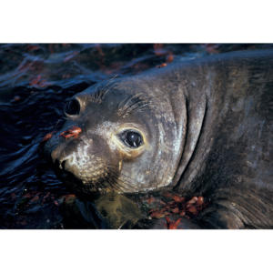 Red Crabs and Baby Elephant Seal, San Miguel Island