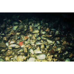 Mussel mound on seabed floor 210' below Platform Holly