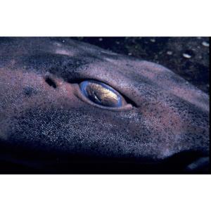 Horn Shark Eye, Santa Cruz Island