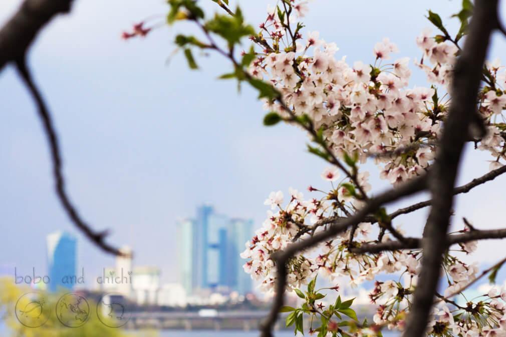 Yeouido Cherry Blossom Festival