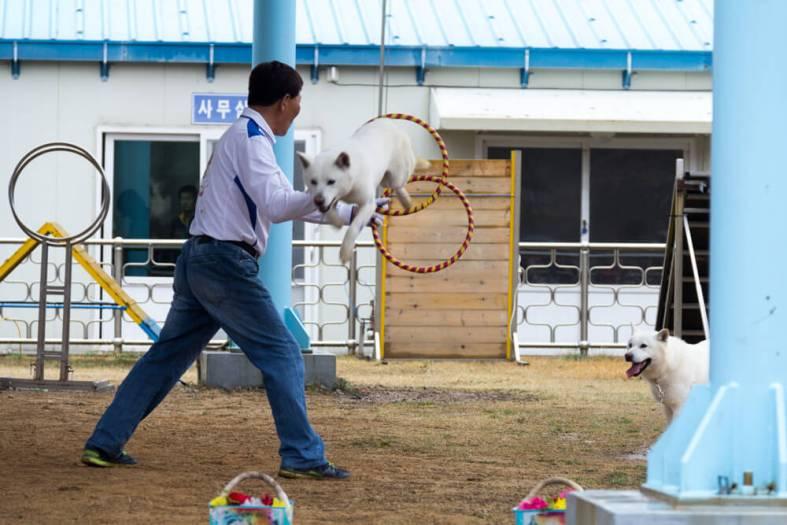 Jindo Dog Jumps Through hoops