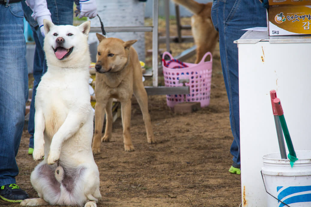 White Jindo Dog