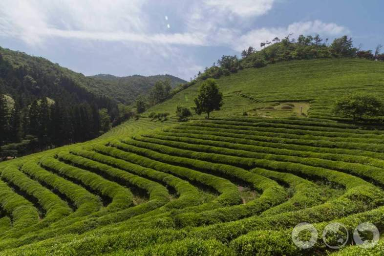 Boseong Green Tea Plantation