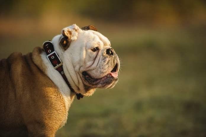 Flat Faced English Bulldog