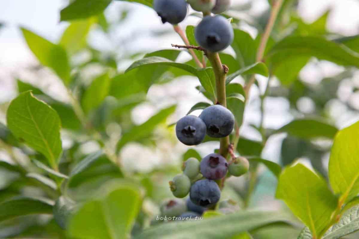 釜山採藍莓11
