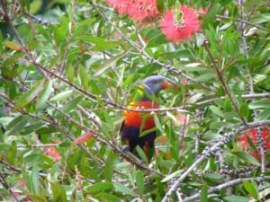 rainbow-lorikeet-02