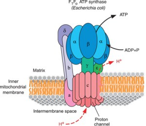 ATP Synthase  eLECTRON TRANSPORT CHAMBER