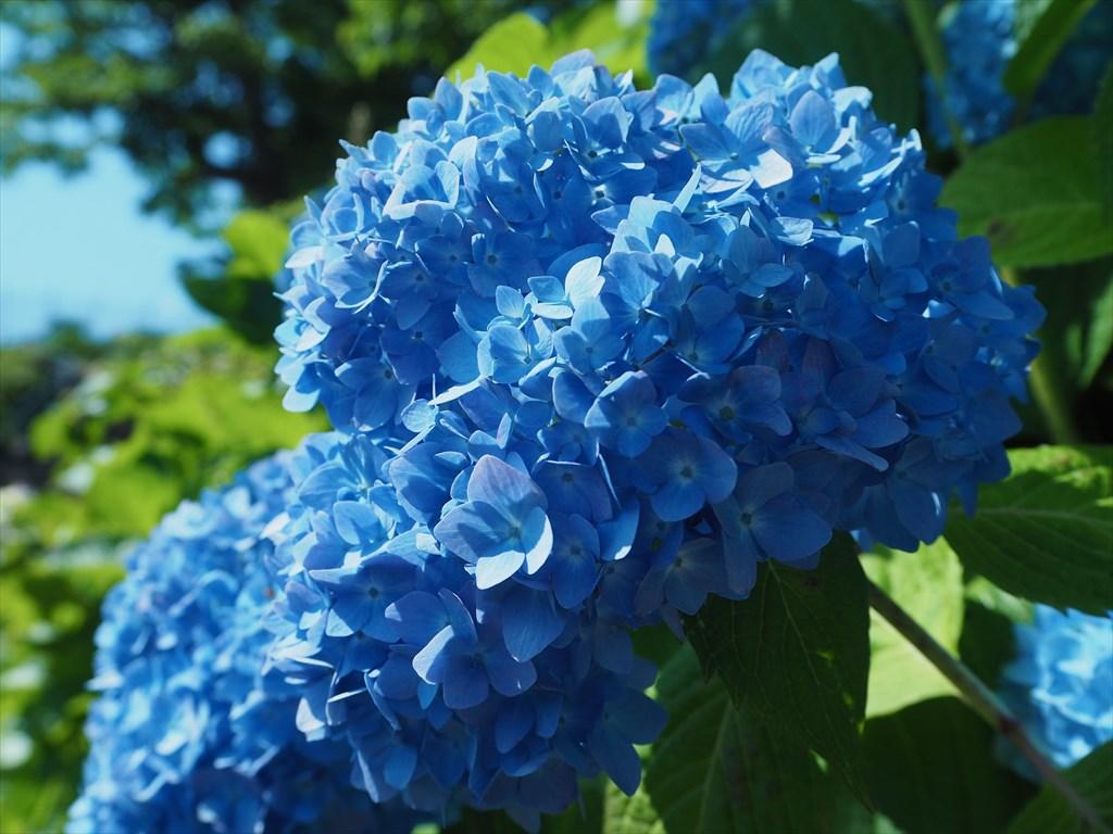 アジサイ 紫陽花