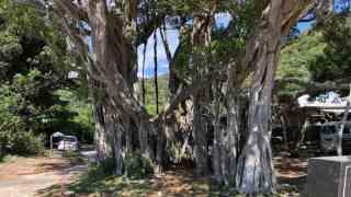 加計呂麻島ガジュマルの木