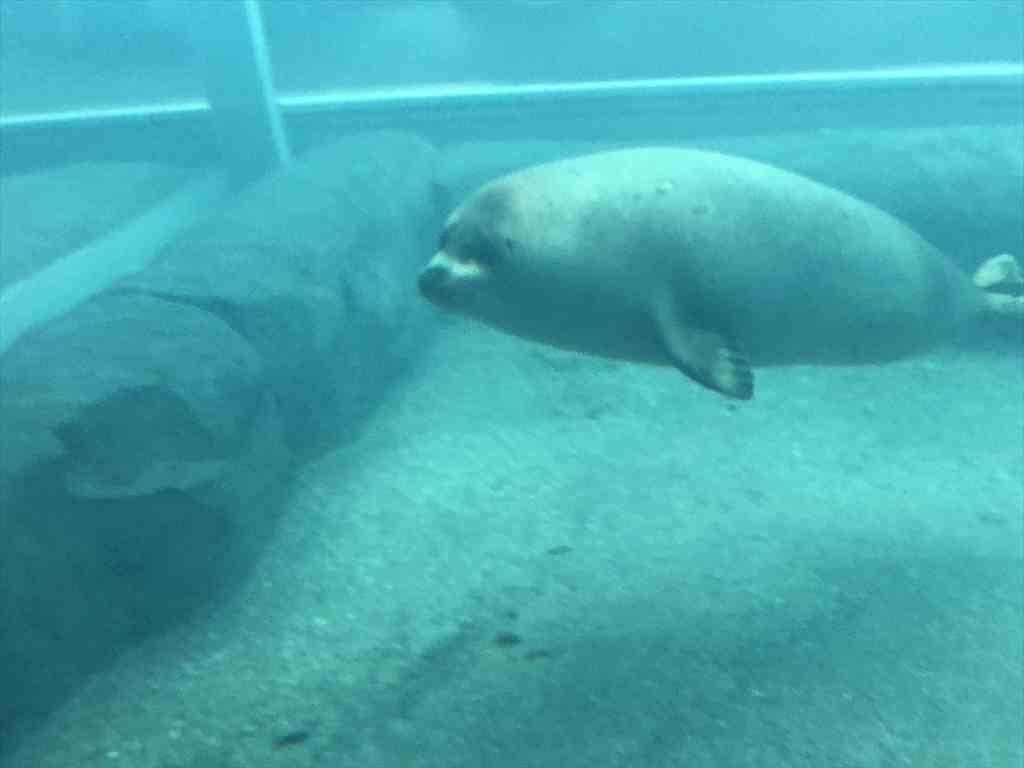 札幌円山動物園アザラシ