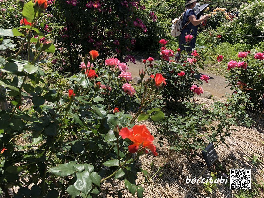 日比谷花壇大船フラワーセンターバラ園プリンセスアイコ