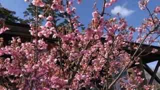 西伊豆土肥温泉土肥桜