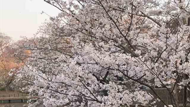 鎌倉鶴岡八幡宮桜の見頃