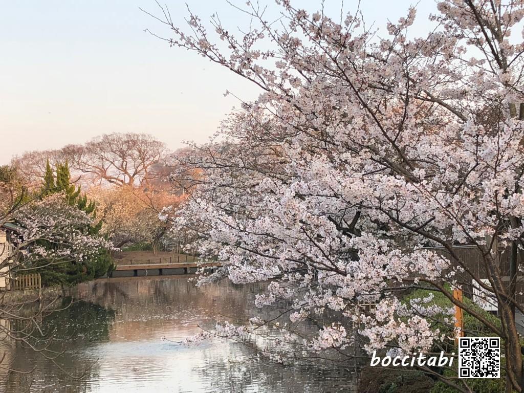 鶴岡八幡宮源平池の桜