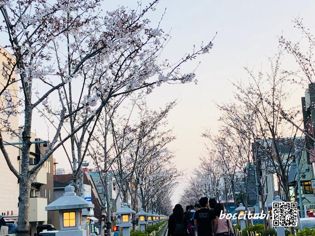 若宮大路段葛の桜