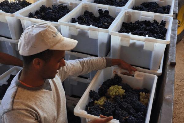 Francisco Barona - Ribera Del Duero - Viticultor Español - Cosecha