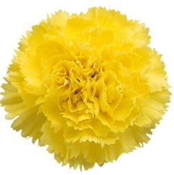 How-to-make-cut-carnations-last-longer-in-the-vase