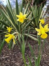 Narcissus 'Cedric Morris'