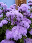 ageratum (Annie's Annuals and Perennials)