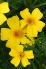 Tagetes (log house plants)