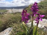 Early purple orchid TD