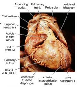 Anterior interventricular sulcus - Definition, Location ...
