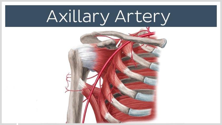 Axillary Artery - Definition, Anatomy, Branches, Injury ...